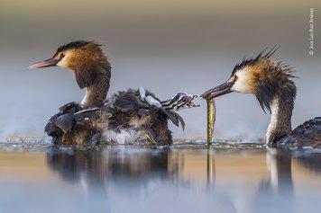 © Jose Luis Ruiz Jiménez, Wildlife Photographer of the Year 2020, Great Crested Sunrise