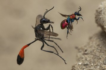 © Frank Deschandol, Wildlife Photographer of the Year 2020. A Tale of Two Wasps