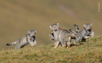 © Shanyuan Li, Wildlife Photographer of the Year 2020, When Mother Says Run