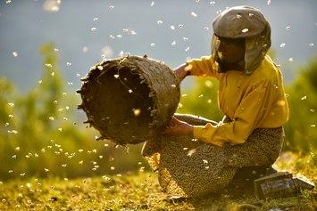 Medena zemja (Honeyland - Il regno delle api), Tamara Kotevska, Ljubomir Stefanov, Macedonia del Nord 2019, 87' Mietitura